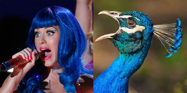 When Your Favorite Celebrity Pop Star Is A Bird - Katy Perry: A Showy Peacock